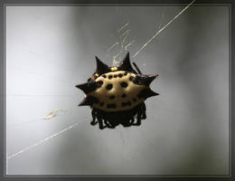 Spiny Orbweaver 40D0023642 by Cristian-M