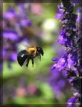 Carpenter Bee 40D0023915