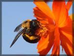 Carpenter Bee 40D0024070