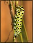 Black Swallowtail 40D0023740