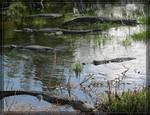 Six Alligators 20D0048589