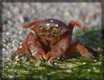 Sponge Crab 40D0000793