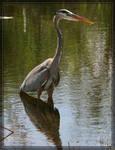 Great Blue Heron 20D0048535
