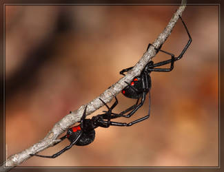 Black Widows 40D0030968 by Cristian-M