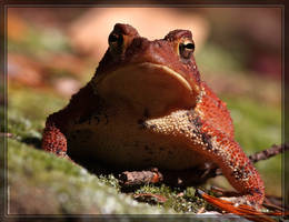 American Toad 40D0031064 by Cristian-M
