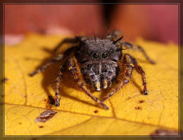 Jumping spider 40D0031358 by Cristian-M