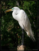 Great White Egret 20D0049728 by Cristian-M