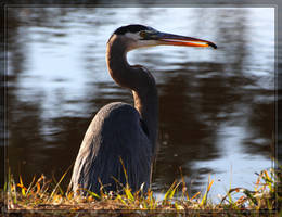 Great Blue Heron 40D0031867 by Cristian-M