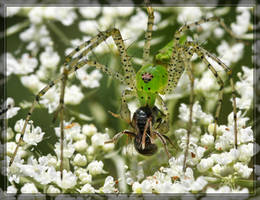 Green Lynx Spider 40D0017910 by Cristian-M