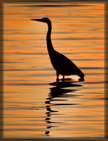 Great Blue Heron 40D0033241 by Cristian-M