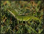 Green Anole 40D0027077