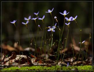 Bluets 40D0039020 by Cristian-M