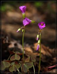 Violet Wood Sorrel 40D0038774 by Cristian-M