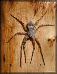 Running Crab Spider 20D0040283