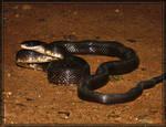 Black Rat Snake 40D0039948