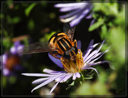 Bee Fly 20D0038879 by Cristian-M