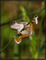 Gray Tree Frog 40D0039507 by Cristian-M
