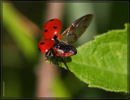 SevenSpot Ladybug 40D0039660 by Cristian-M