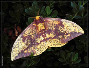 Imperial Moth 50D0006957