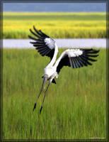 Wood Stork 40D0042342 by Cristian-M