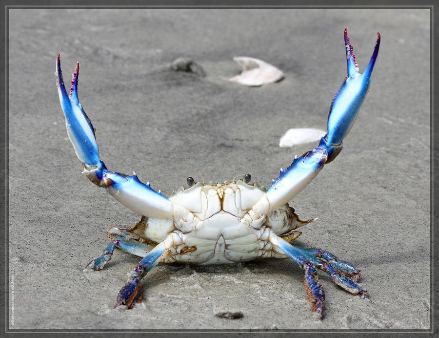 Blue Crab 40D0044422 by Cristian-M on DeviantArt