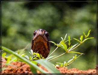 Eastern Box Turtle 50D0001373 by Cristian-M