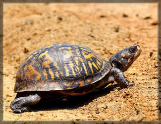 Eastern Box Turtle 50D0001313 by Cristian-M