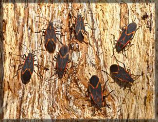 Boxelder Bugs 20D0044295 by Cristian-M