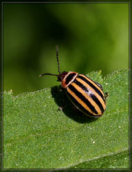 Leaf Beetle 40D0039665 by Cristian-M
