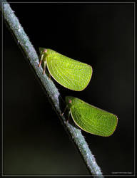 Flatid Planthoppers 50D0005668 by Cristian-M