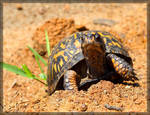 Eastern Box Turtle 50D0001341