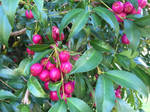 Lilly Pilly (Syzygium smithii)