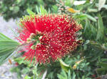 Crimson Bottlebrush (Melaleuca citrina)