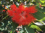 Orange Flowering Gum (Corymbia ficifolia)