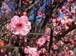 Mock Cherry Blossom