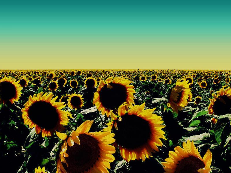 sunflowers wallpaper. Sunflower Wallpaper by