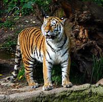 tiger by Callaleelu