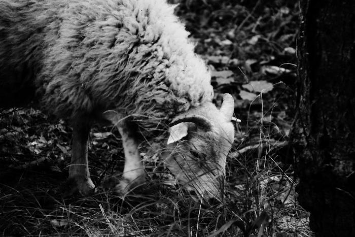 Killer sheep by Bokushi