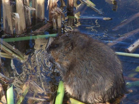 Muskrat in the fall