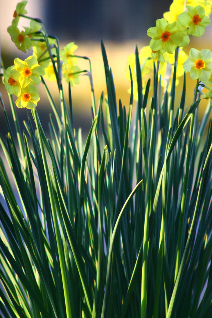 Happy Daffodils by ExposeTheBeauty
