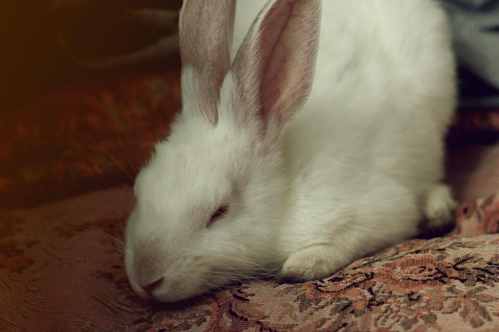 white rabbit by FokkusuNM