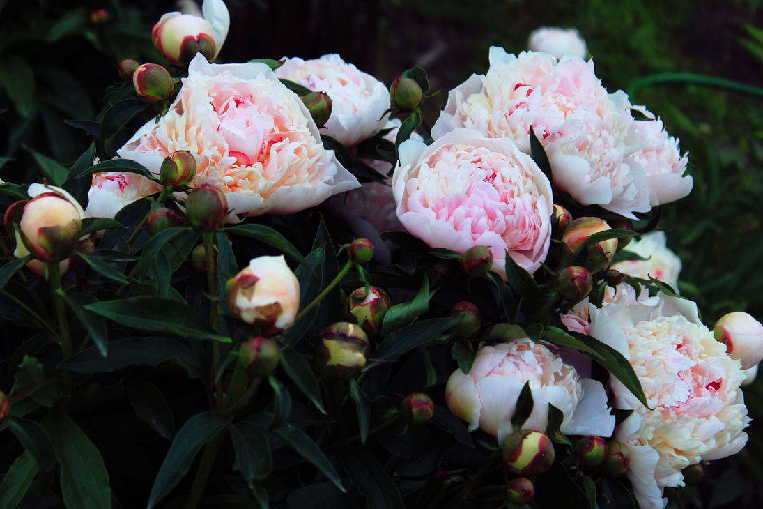 beautiful peonies by FokkusuNM