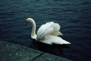 Swan by Holowood
