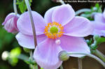 Pink Flower and Buds by rockerchicforever