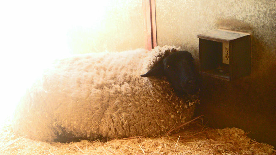 Albino black sheep essay