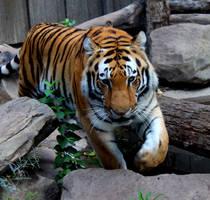 Tiger by DerekDD