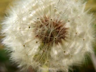 Dandelion Fluff by LawnyJ