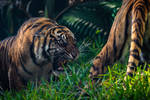Tiger goes meow by nicmuller