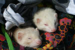 Two tired ferrets by agniux