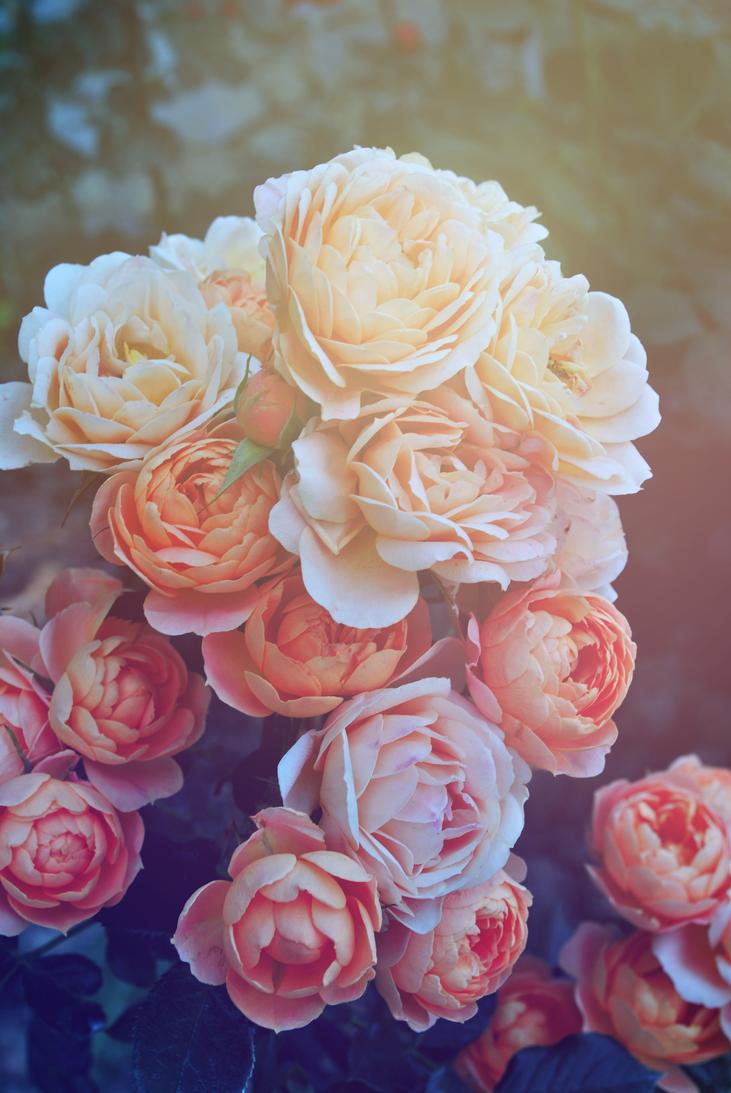 pastel roses by fantazyme on deviantart. Black Bedroom Furniture Sets. Home Design Ideas